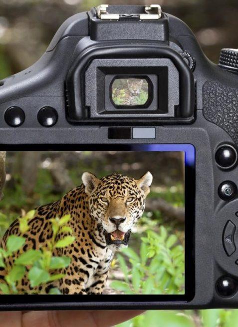 Saevus 1200-18697089-wildlife-photography-477x655 Standard