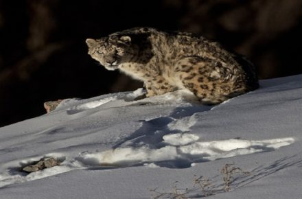 Saevus Snow-Leopard_Dhritiman-Mukherjee-2-440x290 Magazine | Wildlife | Conservation | Photography | Travel | Natural History