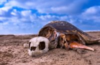Saevus A-Skeleton-of-Olive-Ridley-Sea-Turtles-Lepidochelysolivacae-at-Mondarmoni-beach-in-West-Bengal-200x130 Magazine | Wildlife | Conservation | Photography | Travel | Natural History