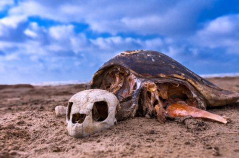 Saevus A-Skeleton-of-Olive-Ridley-Sea-Turtles-Lepidochelysolivacae-at-Mondarmoni-beach-in-West-Bengal-475x315 Magazine | Wildlife | Conservation | Photography | Travel | Natural History