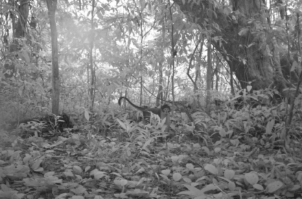 Saevus Camera-trap-footage-shows-a-white-naped-mangabey-Cercocebus-lunulatus-in-a-forest-in-the-Atewa-mountains.-Photo-courtesy-of-A-Rocha-440x290 Trending
