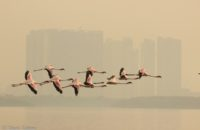 Saevus Flamingos-in-flight-200x130 Magazine | Wildlife | Conservation | Photography | Travel | Natural History
