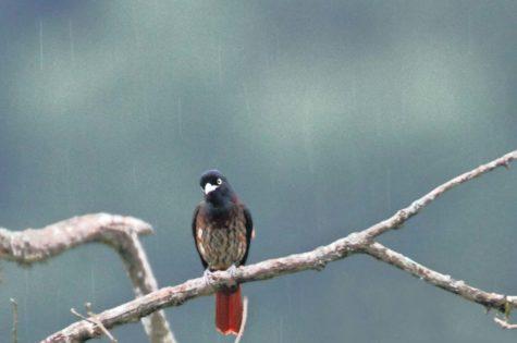 Saevus Maroon-oriole-in-rains-saevus-475x315 Magazine | Wildlife | Conservation | Photography | Travel | Natural History