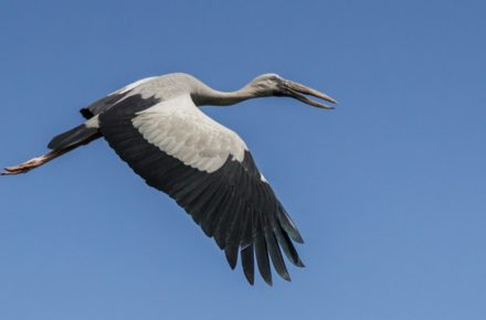 Saevus Flighted-Stork-440x290 Magazine | Wildlife | Conservation | Photography | Travel | Natural History