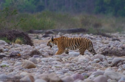 Saevus Tiger-101-1-440x290 Magazine | Wildlife | Conservation | Photography | Travel | Natural History