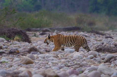 Saevus Tiger-101-1-475x315 Magazine | Wildlife | Conservation | Photography | Travel | Natural History