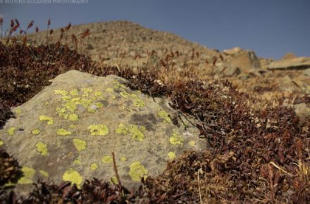 Saevus Lichen-in-Dry-Habitat-1-440x290 Magazine | Wildlife | Conservation | Photography | Travel | Natural History
