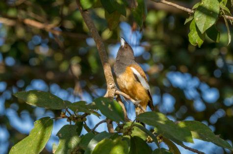 Saevus Rufous-Treepie-475x315 Magazine | Wildlife | Conservation | Photography | Travel | Natural History